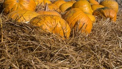 Ripe pumpkin in dry hay,decorations from the harvest,beautiful decorations for Halloween.