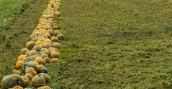 Ripe pumpkins aligned on the left in the field.