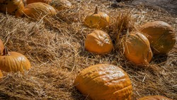 Ripe pumpkins are scattered on dry hay in the village,decorations for Halloween in a cafe,decorations for the festival of the dead.