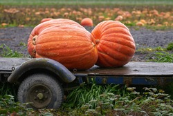 Ripe Pumpkins on the Farm. Big Pumpkins harvested from the pumpkin patch.