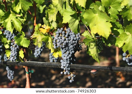 Ripe purple grapes in vineyard during autumn