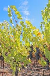 Ripe, purple wine grapes hang on the vine at a vineyard in the Napa Valley near Calistoga, California