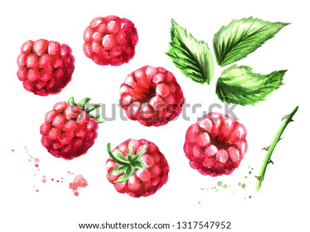 Ripe raspberries and green leaves set. Watercolor hand drawn illustration, isolated on white background