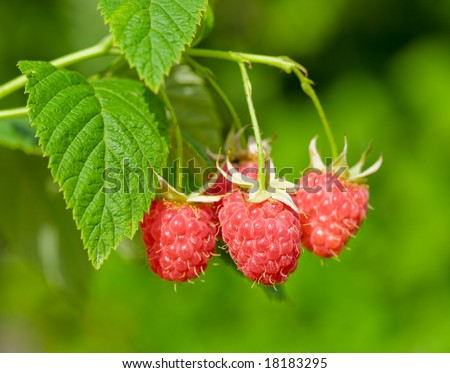 Ripe raspberry, hanging on a bush