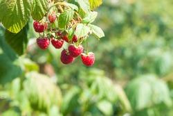 Ripe raspberry in the fruit garden. Raspberry bushes with ripe berries. Raspberries summer fruit