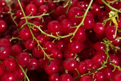 Ripe raw red currant berries on bright sun. Summer vegetarian food pattern. Harvesting and gardening berries