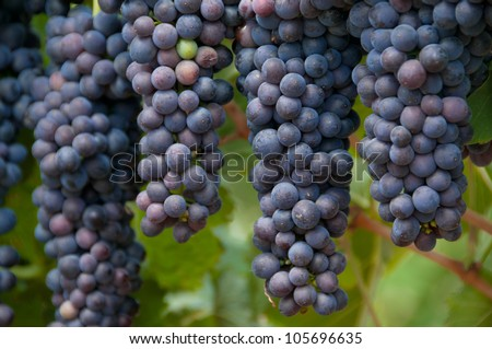 Ripe ready for harvesting hanging grapes