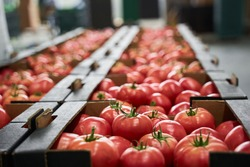 Ripe red and pink tomatoes placed in cardboard boxes stored at a vegetable processing plant