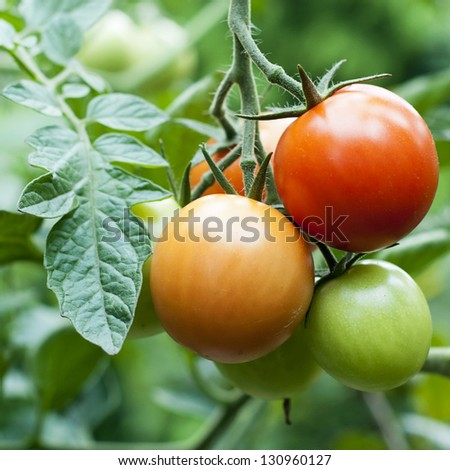 Ripe red and unripe green tomatoes on a vine on plant. - stock photo