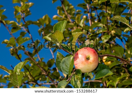 ripe red apple - stock photo