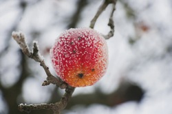 Ripe red apple on to snow covered by a hoarfrost