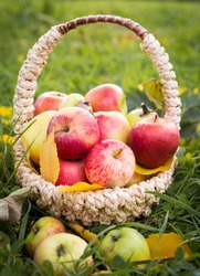 ripe red apples lie in a wicker basket that stands on the grass and yellow autumn leaves