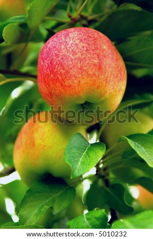 Ripe red apples on a apple tree branch in an orchard