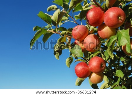 Ripe red apples on branch