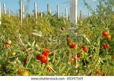 Ripe Red Cherry Tomatoes on the Vine