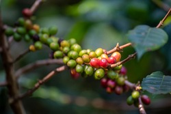 Ripe Red coffee bean berry plant fresh seed coffee tree growth in green eco organic farm. Close up red ripe seed robusta arabica berries harvest for  coffee garden. Fresh coffee bean green leaf bush