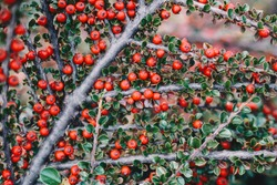 Ripe red cotoneaster  berries at the brunch with green leaves - close up photo with selective focus