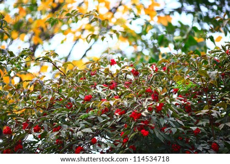 ripe red elderberry against autumn leaves - with a strong background blur