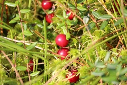 Ripe red glossy berries of Vaccinium oxycoccos glisten in the sun among green leaves and moss on an autumn day on a bog. Red berries of Cranberry close-up on green background. Sunny autumn landscape.