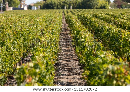 Ripe red grapes on rows of vines in a vienyard before the wine harvest in  Margaux appellation d'origine contrôlée of the Bordeaux region of France Photo stock ©