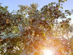Ripe red MacIntosh apples on the tree.
