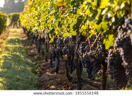Ripe red Merlot grapes on rows of vines in a vienyard before the wine harvest in Saint Emilion region. France Foto d'archivio ©