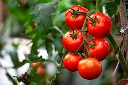 Ripe red organic tomato in greenhouse. Beautiful heirloom tomatoes
