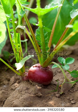 Ripe red radish in the garden, closeup #398320180