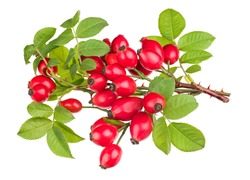 Ripe red rosehips on thorny briar twigs isolated on a white background. Rosa canina. Close-up of shiny sweet rose hips on small brier branches with lush green leaves and sharp thorns. Herbal medicine.