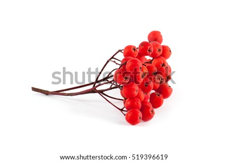 Stock Photo Ripe red rowan isolated on white background