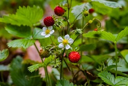 Ripe Red strawberries berry and white flowers in wild meadow, close up