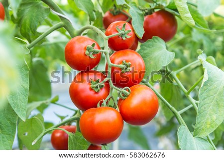 ripe red tomato growing on  branch in the field