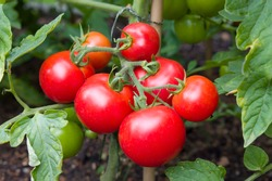 Ripe red tomatoes growing on a vine in a vegetable garden, England, UK