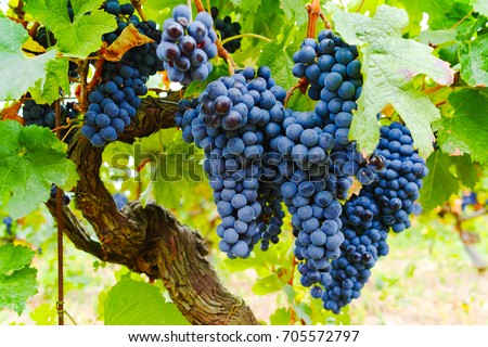 Ripe red wine grape ready to harvest, South France
