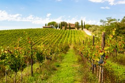 Ripe red wine grapes just before harvest in the Chianti region of Tuscany