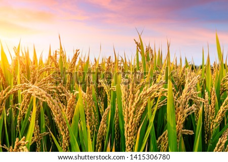 Ripe rice field and sky background at sunset time with sun rays ストックフォト ©