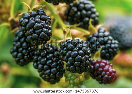 ripe, ripe BlackBerry berry on a branch, ripening of berries in natural conditions, the concept of environmentally friendly products