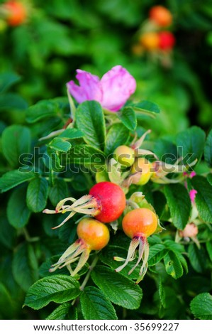 Ripe rose-hip fruit and flower on green bush