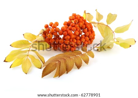 stock-photo-ripe-rowan-berry-with-color-leafs-in-autumn-62778901.jpg