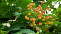 Ripe rowan branch, rowan berry