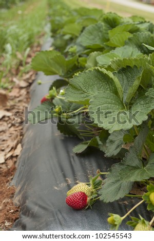 ripe strawberries growing on the vine in the field ready to be picked