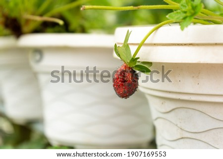 Ripe strawberries hanging from a pot in a greenhouse on a strawberry farm. Foto stock ©