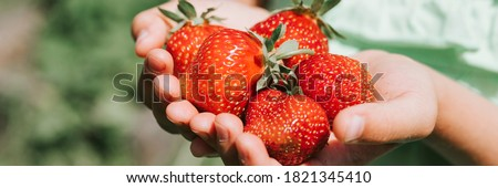 ripe strawberries in a child's girl hands on organic strawberry farm, people picking strawberries in summer season, harvest berries. banner