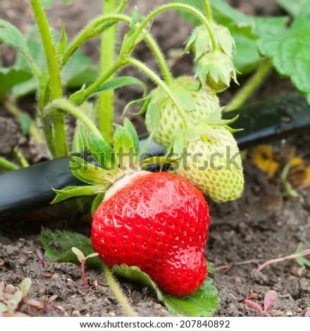 ripe strawberries in a garden #207840892