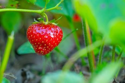 Ripe strawberries with holes made by a slug. The slug-pest Arion vulgaris snail parasitizes the strawberry beds of the garden field, eating ripe berries.