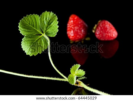 Ripe strawberry and growing runner over black reflective plane