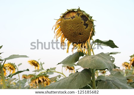 Ripe sunflower and seeds at the end of life cycle