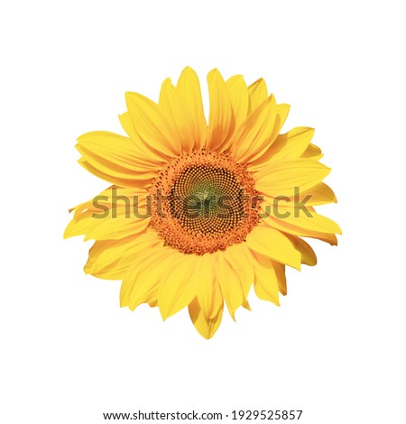 Ripe sunflower with yellow petals and dark middle