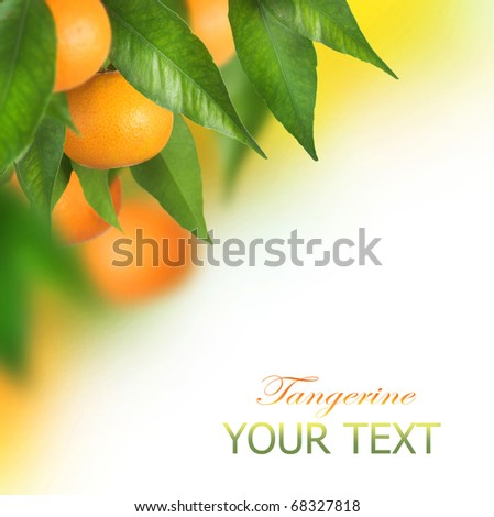Ripe Tangerines growing.Border design