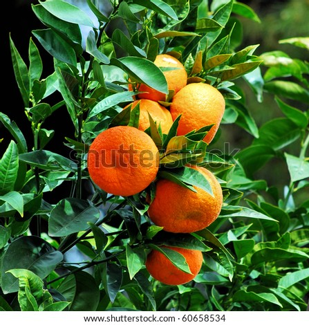 ripe tangerines growing on a tree en spain